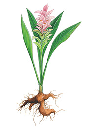 Curcuma plante